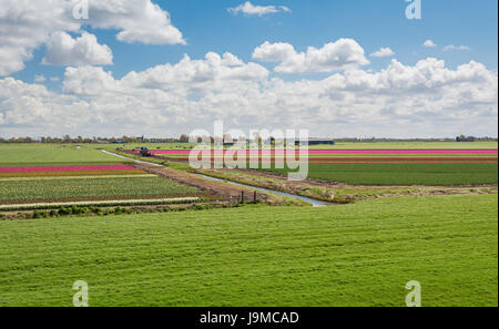 One hundred percent Dutch, grazing cows beside the blooming tulip fields in the polder. - Stock Photo