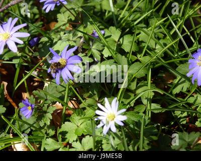 Wood Anemony. Anemone nemorosa. - Stock Photo