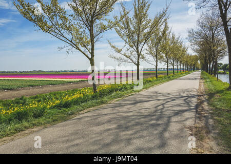 Road with a row of trees flanked by the beautiful and colorful tulip fields in the Dutch polder landscape - Stock Photo