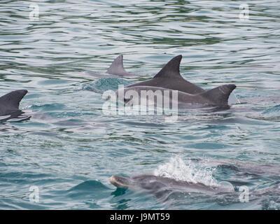 Pod of Bottlenose Dolphins swimming near the beach, Western Australia - Stock Photo