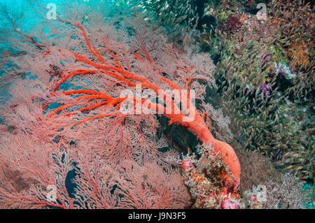 Gorgonian sea fan [Melithaea sp.] with Pygmy sweepers [Parapriacanthus ransonetti].  Similan Islands, Andaman Sea, - Stock Photo
