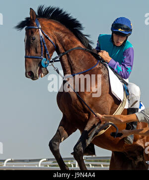 Before horse  trying to reset jockey before the start racing - Stock Photo