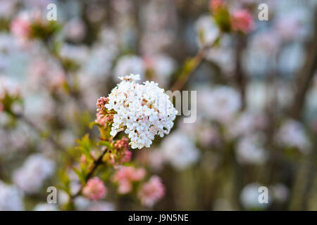 White blossoms in spring on a tree - Stock Photo