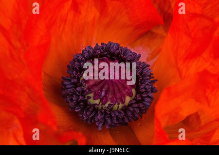 Close up of the orange summer flower of Oriental Poppy 'Brilliant' in the garden in Blackpool, Lancashire, England, - Stock Photo