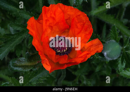 Plant and flower of the orange summer flowers of Oriental Poppy 'Brilliant' in the garden in Blackpool, Lancashire, - Stock Photo