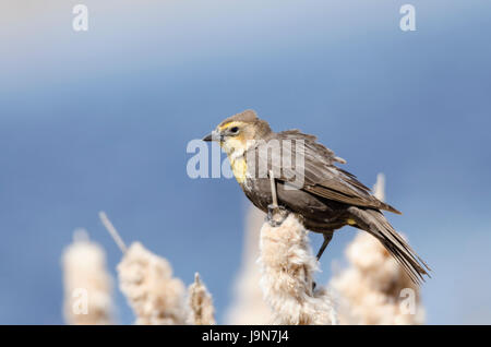 Female yellow-headed blackbird perched on cattails by a pond - Stock Photo
