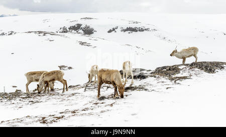 A group of reindeer in mountain area covered in snow. Kjølen, Kvaløya, Tromsø, Norway. - Stock Photo