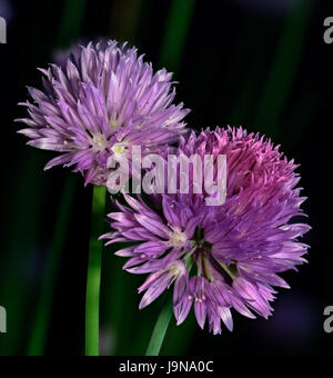 Floral color macro of a duo of violet Chive blossoms on blurred green background in sunlight - Stock Photo