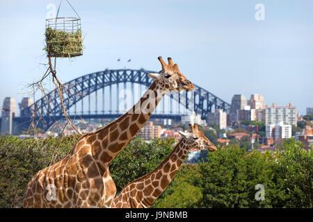 Giraffes in Taronga zoo, Sydney. - Stock Photo