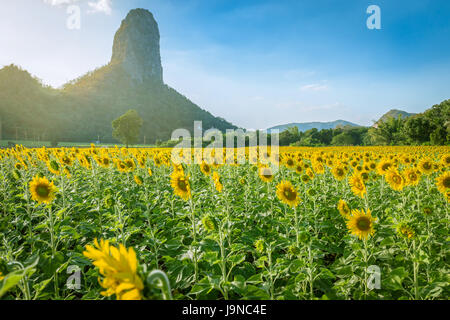 Summer landscape: beauty sunset over sunflowers field with warm light and mountain - Stock Photo