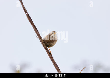 Wren Songbird on a Rusty Wire - Stock Photo