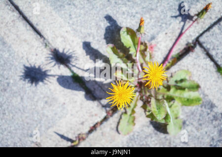 Dandelion growing between the tiles in the garden. - Stock Photo
