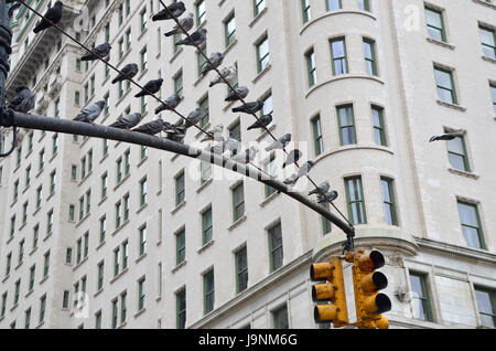 pigeons sit on a wire over grand army plaza manhattan new york - Stock Photo