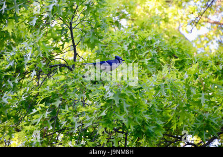 A blue jay bird sitting in a tree in Park Slope, Brooklyn, New York City 2017 - Stock Photo