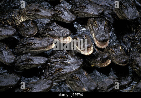 American alligators,alligator mississipiensis,group,young animals,water surface,Florida, - Stock Photo