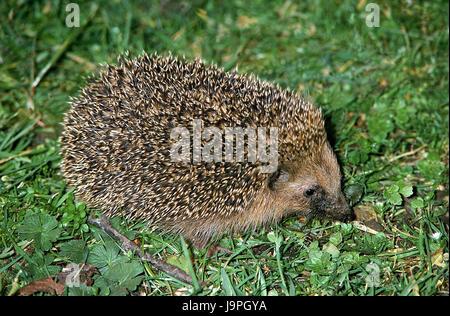 European hedgehog,Erinaceus europaeus,grass, - Stock Photo
