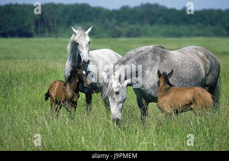 Lusitano horse,mares with foal,pasture, - Stock Photo
