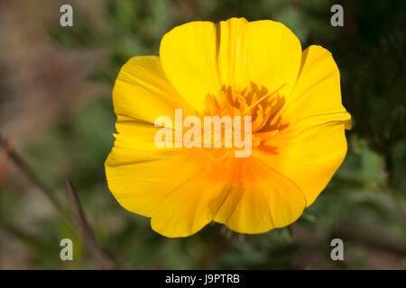 California poppy (Escholtzia californica), Rough and Ready Botanical Wayside, Siskiyou National Forest, Oregon - Stock Photo