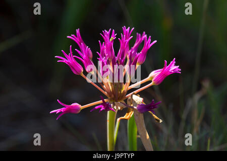 Tapertip onion along Little Falls Trail, Illinois Wild and Scenic River, Siskiyou National Forest, Oregon - Stock Photo
