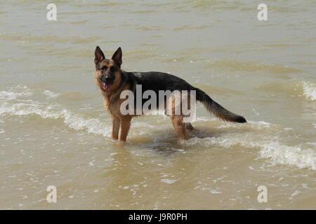 Dog German shepherd who puts his legs in sea water - Stock Photo