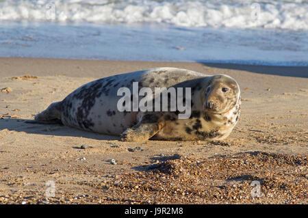 Grey Seal, Halichoerus grypus, single adult female resting on beach. Suffolk, UK - Stock Photo