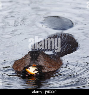 Beavers,Castoridae,head-on,snout,swim,apple,gnaw, - Stock Photo