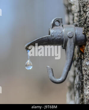 sugary maple water dropping from a spout tapped in a tree, magnifying the forest in the background. - Stock Photo