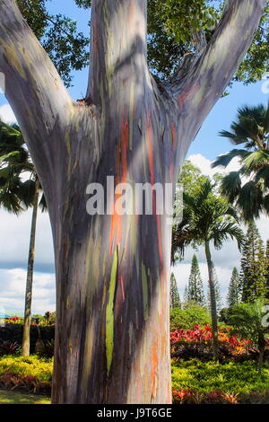 Rainbow Eucalyptus (Eucalyptus deglupta) - Stock Photo