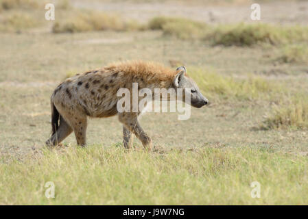 Hyena in National park of Kenya, Africa - Stock Photo