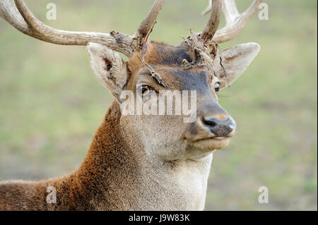 Close Deer in the natural environment in the autumn - Stock Photo
