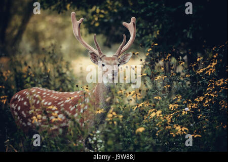 Whitetail Deer standing in autumn wood - Stock Photo