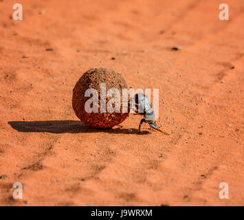 A Green Grooved Dung Beetle with a dung ball  in Southern Africa - Stock Photo