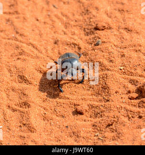 A Green Grooved Dung Beetle on a dirt track in Southern Africa - Stock Photo