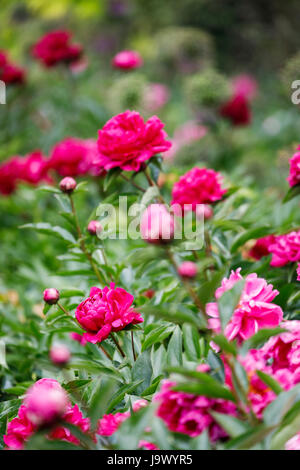 Pink and red peonies (Paeonia lactiflora) growing in an English garden border in late spring to early summer, Surrey, south-east England, UK