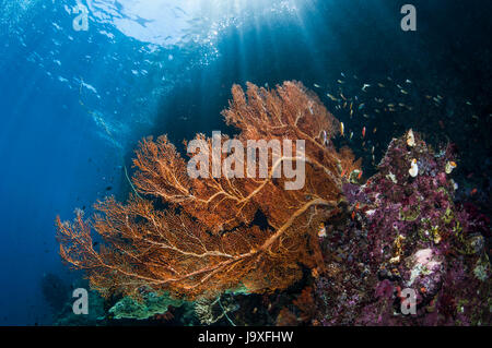 Gorgonian [Annella mollis] on reef slope.  West Papua, Indonesia. - Stock Photo