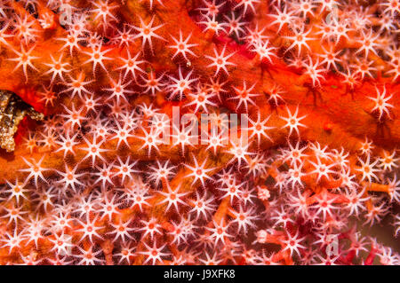 Gorgonian coral [Acanthogorgia sp.].  Similan Islands, Andaman Sea, Thailand. - Stock Photo