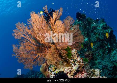 Gorgonian sea fan [Melithaea sp.].  Similan Islands, Andaman Sea, Thailand. - Stock Photo