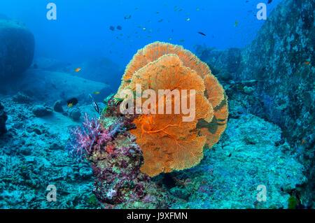 Gorgonian sea fan [Suberegorgia mollis] on granite boulders.  Similan Islands, Andaman Sea, Thailand. - Stock Photo