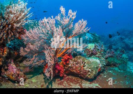 Gorgonian sea fan [Melithaea sp.].  Andaman Sea, Thailand. - Stock Photo