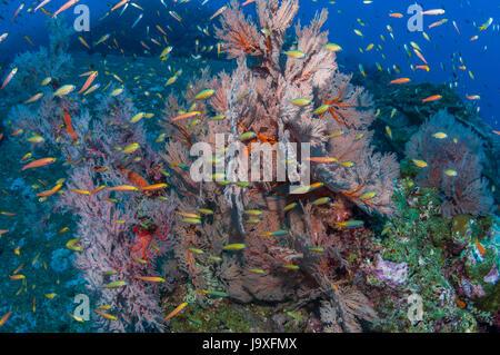 Gorgonian sea fan [Melithaea sp.] with juvenile Yellowback fusiliers [Ceasio xanthonotus].  Similan Islands, Andaman - Stock Photo