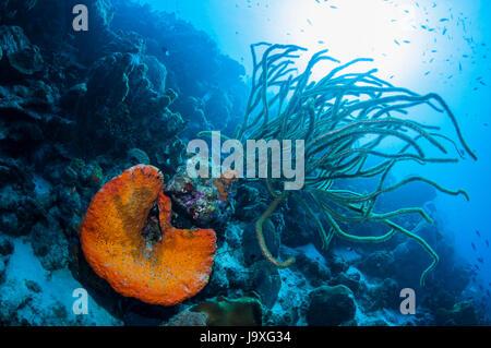 Orange elephant ear sponge (Agelas clathrodes) and a gorgonian (Plexaurella nutans).  Bonaire, Netherlands Antilles, - Stock Photo