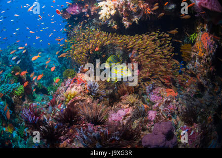 School Of Tropical Reef Fish Ribbon Reefs Great Barrier Reef Stock Photo Royalty Free Image