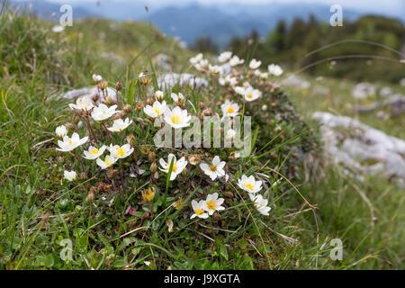white mountain avens (dryas octopetala) in the alps,bavaria - Stock Photo