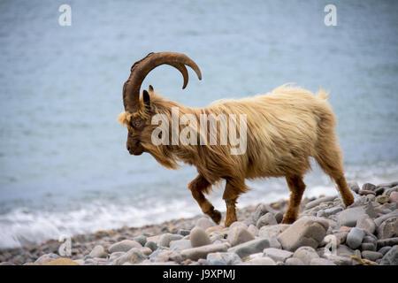 Welsh Mountain Goat on coastal region of North Wales, Snowdonia. - Stock Photo