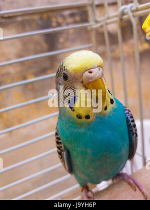 blue budgie in the cage close look - Stock Photo