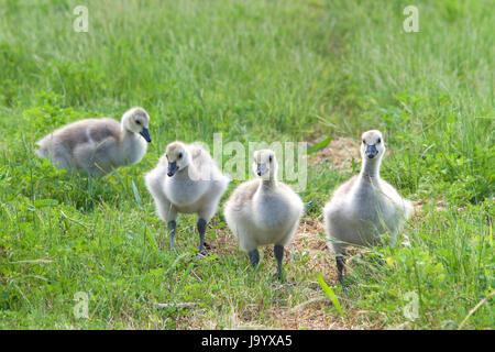 Goslings foraging for food in the grass. Canada geese are able to establish breeding colonies in urban areas, which - Stock Photo