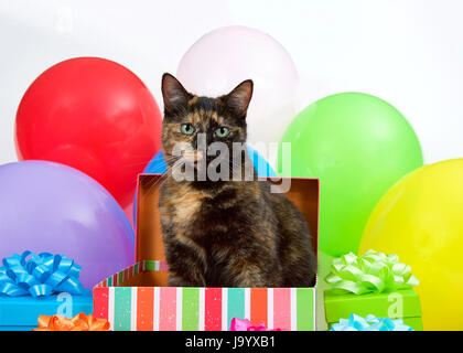 Tortie Torbie Tabby cat sitting in a birthday present box surrounded by colorful presents and bright balloons. Surprise - Stock Photo