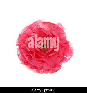 One deep pink Ranunculus asiaticus flower, isolated on white background. - Stock Photo