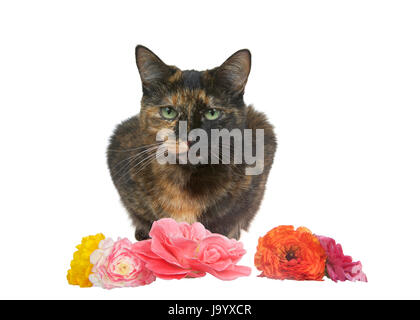 One tortie torbie tabby cat crouched down with flowers in front of her. Isolated on a white background. - Stock Photo