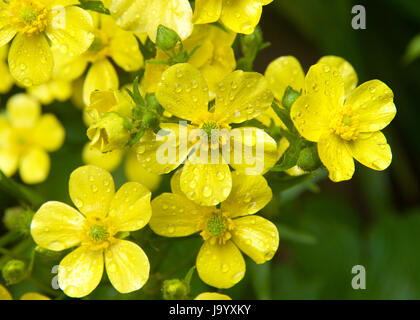 Ranunculus cortusifolius, also known as the Azores buttercup or Canary buttercup, is a plant species in the genus - Stock Photo